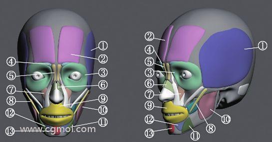 ZBrush脸部肌肉介绍