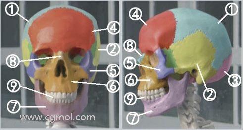 ZBrush头骨的结构介绍